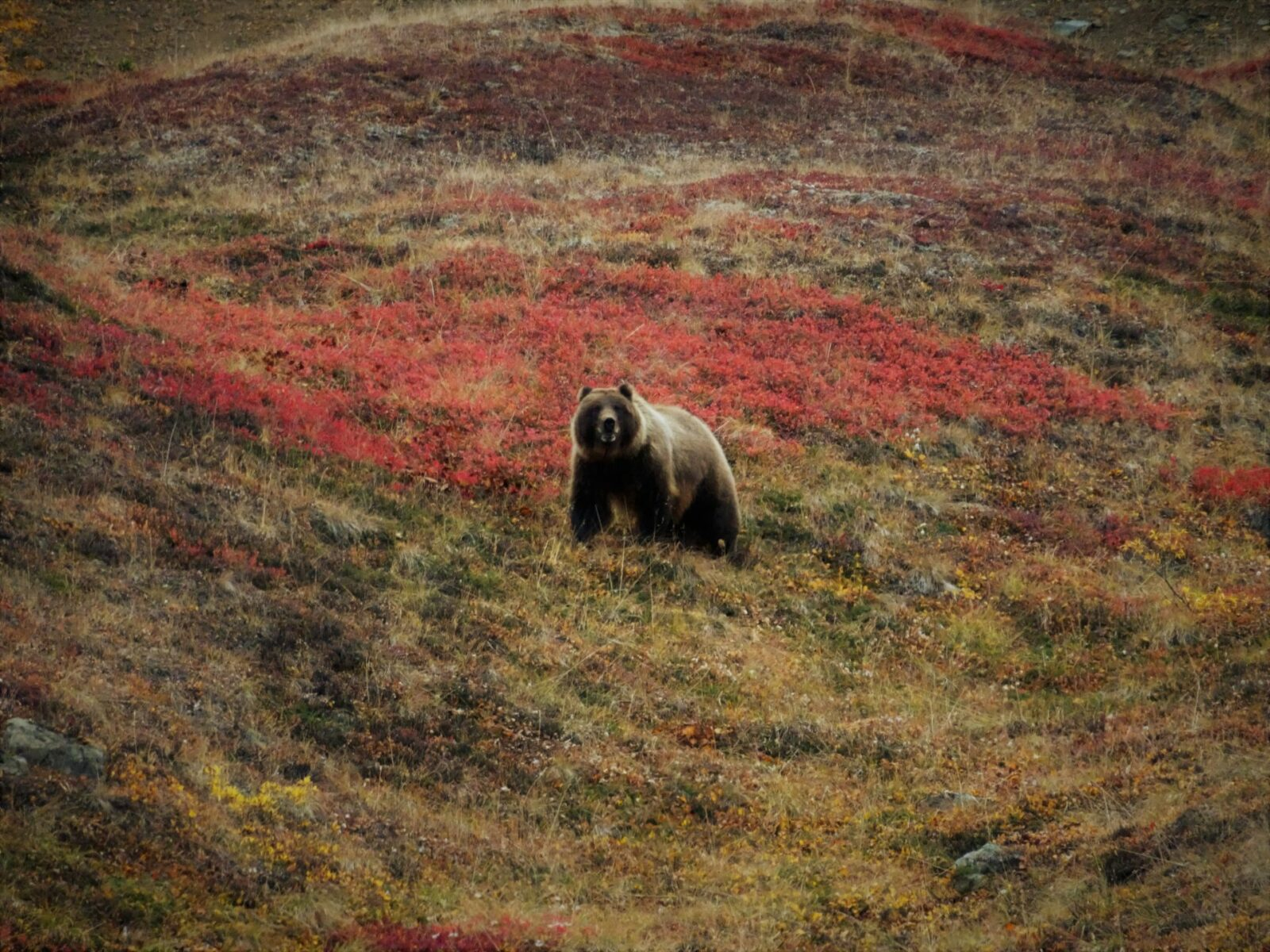 A grizzly bear in a field of fall color on one of the best day trip tours in alaska, the bus tour of denali national park