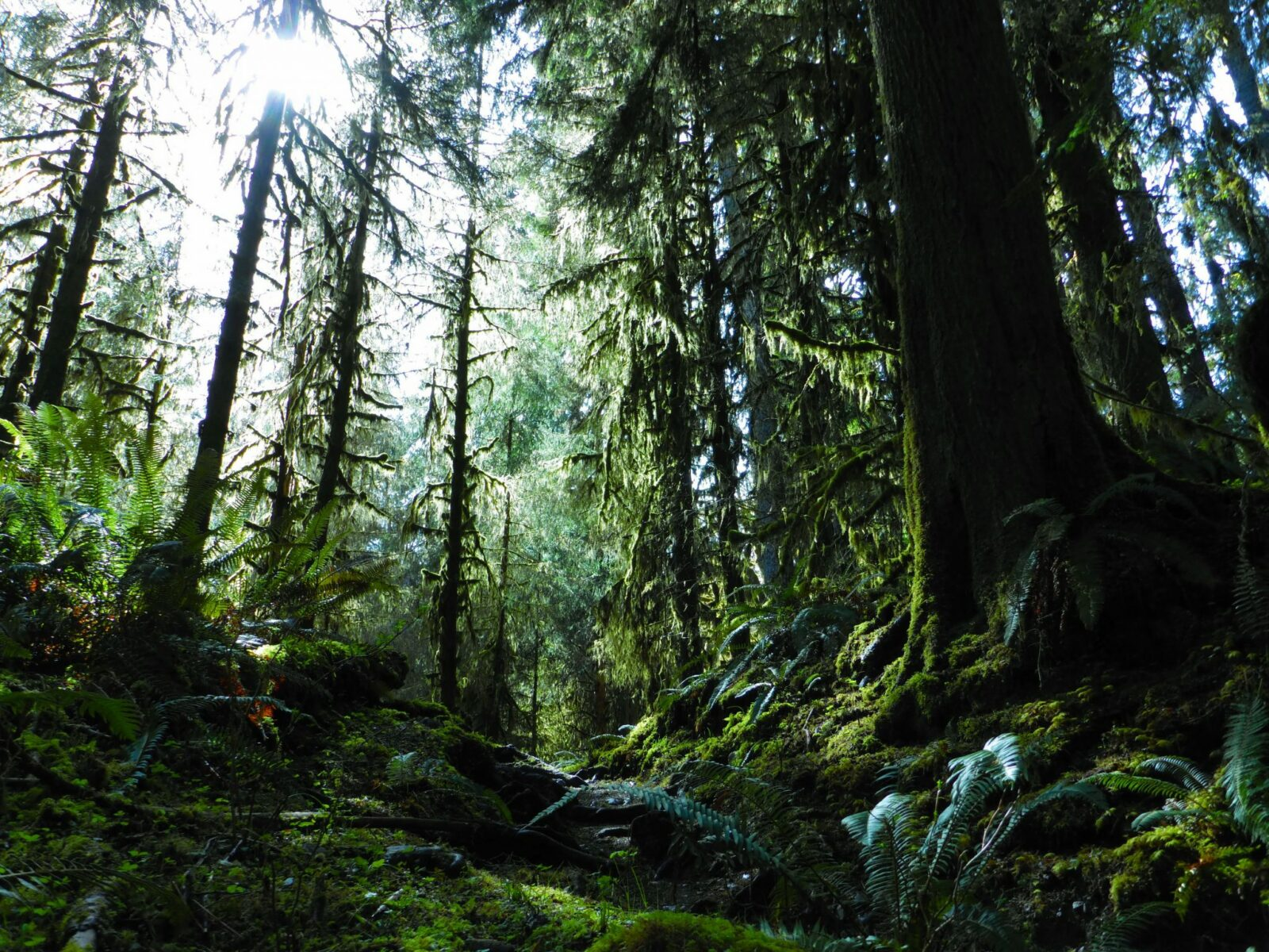 A thick canopy of old growth trees with ferns and moss
