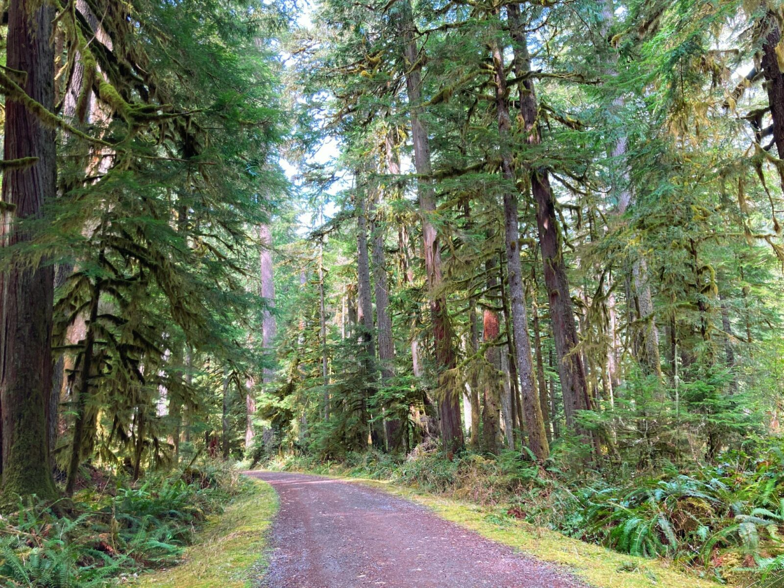 The Carbon River Trail is a gentle, mostly graveled, wide trail. Here the trail goes through a forest of evergreen trees, moss and ferns