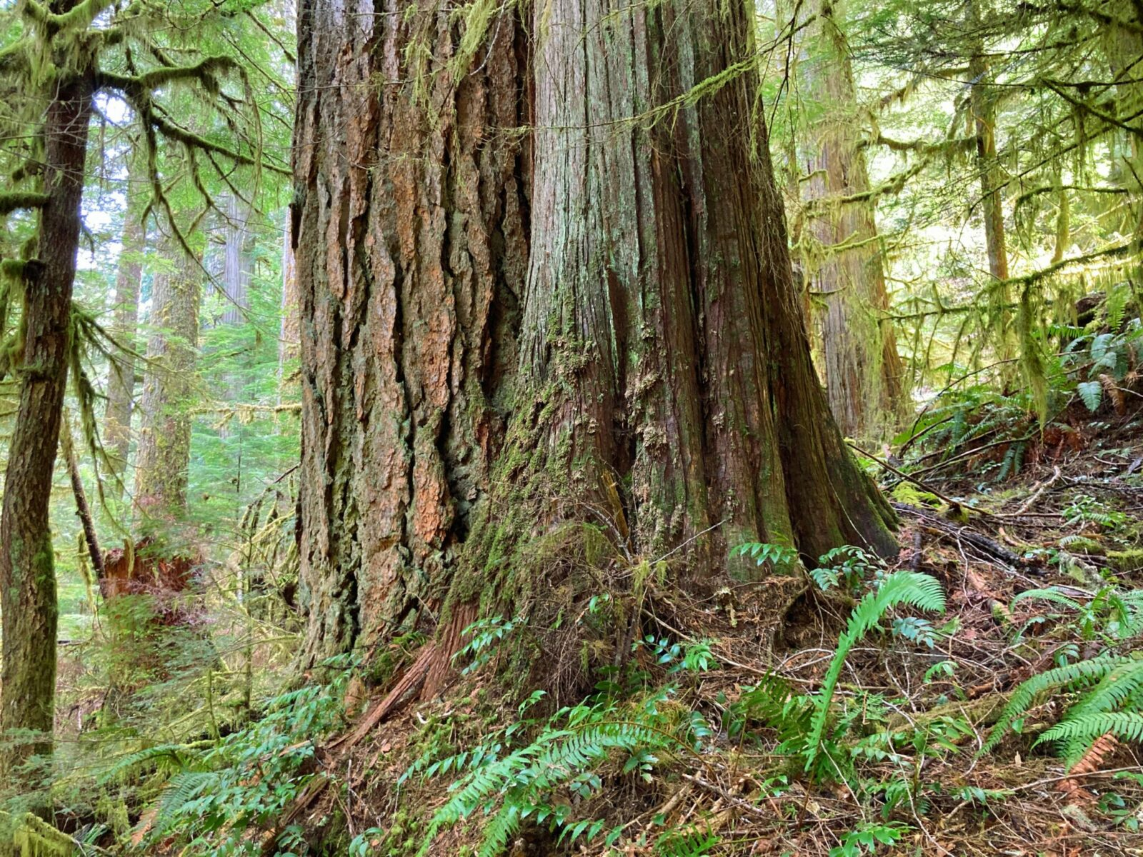 Two old growth trees in a forest surrounded by moss and ferns. We can only see the bottom of each tree. The one on the right as course and cracked bark and the other has more feathery bark.