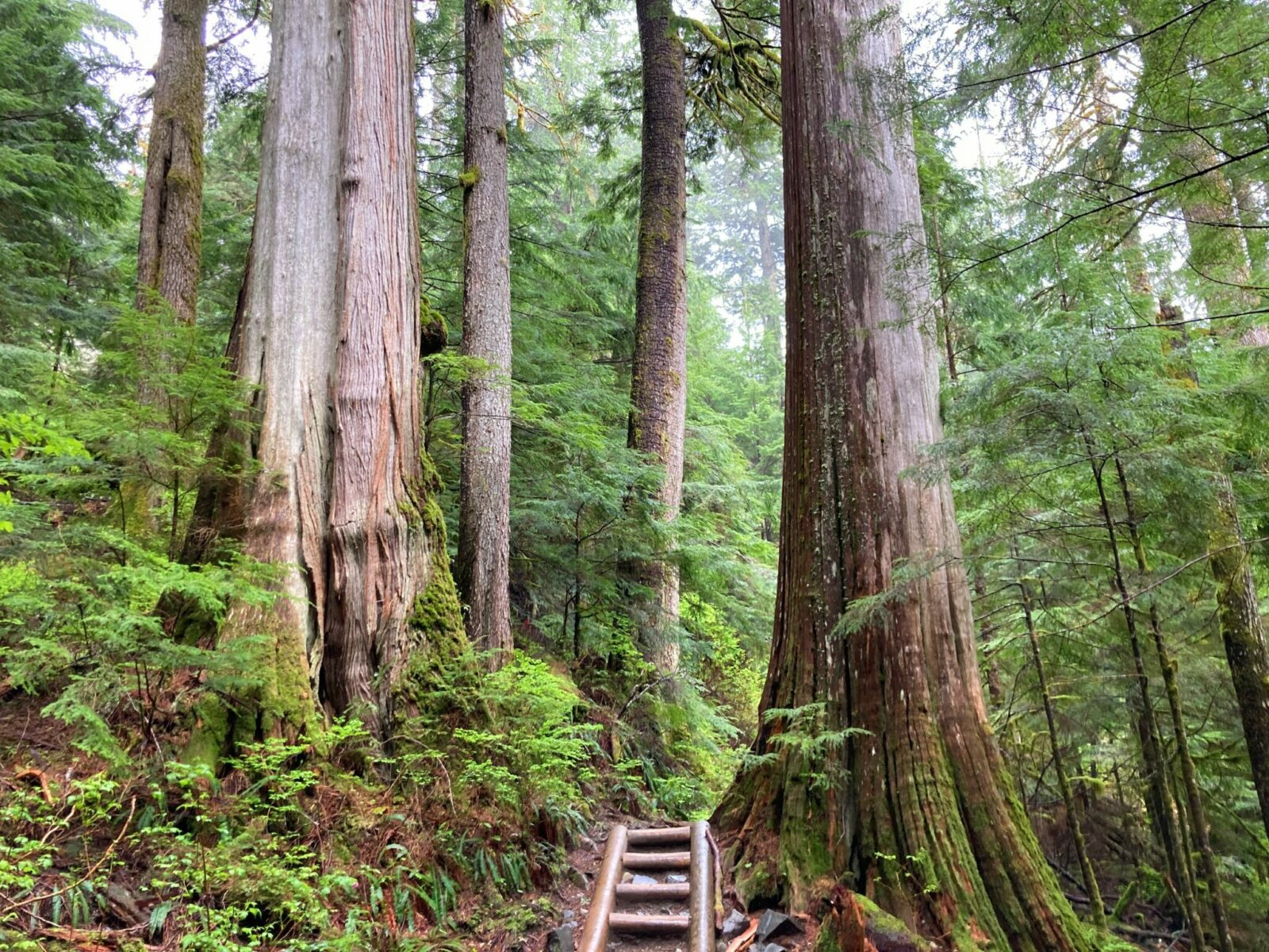 Two old growth cedar trees on either side of the Lake 22 trail. At this spot, the trail goes up a series of log steps and there are more trees all around in the forest. The forest floor has ferns and moss