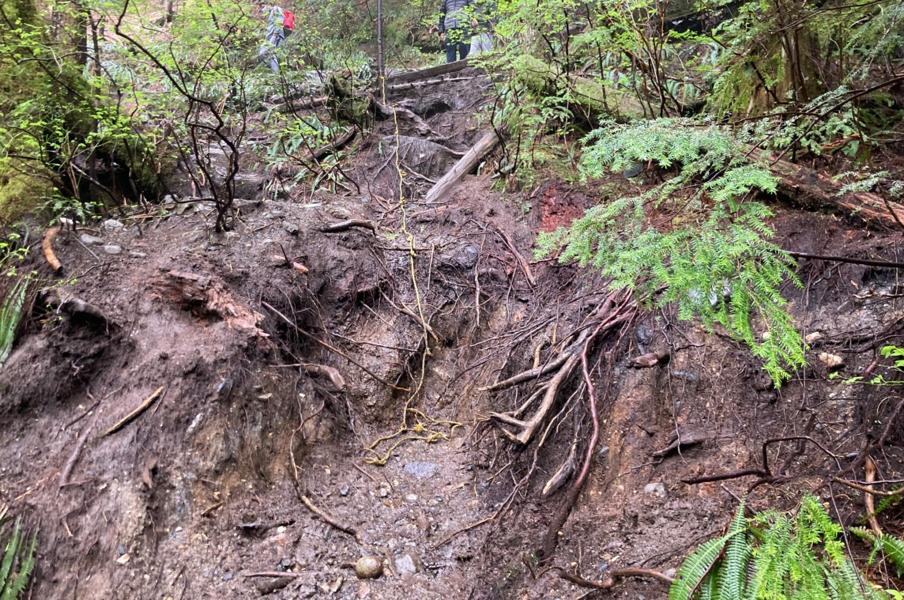 Lots of mud and roots in the forest at the site of a washout on the Lake 22 trail