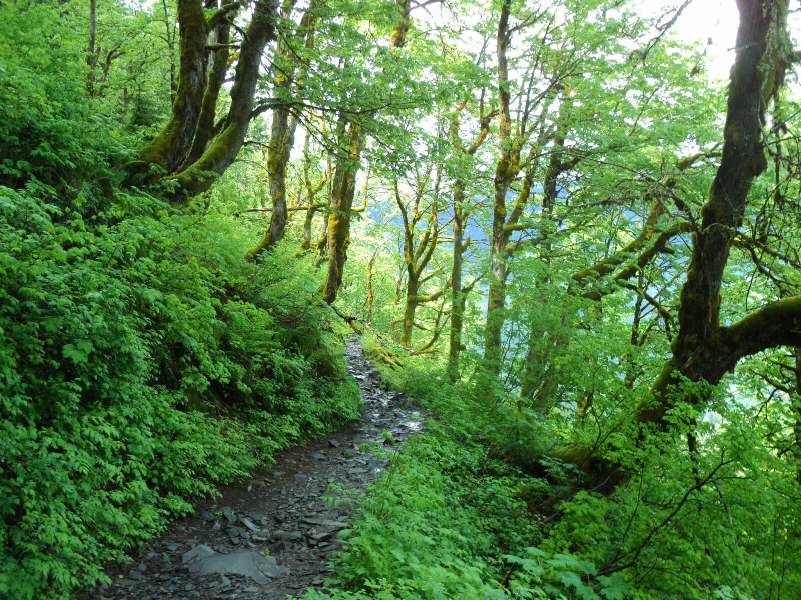 A rocky trail through bright green shrubs and green maple trees covered in moss