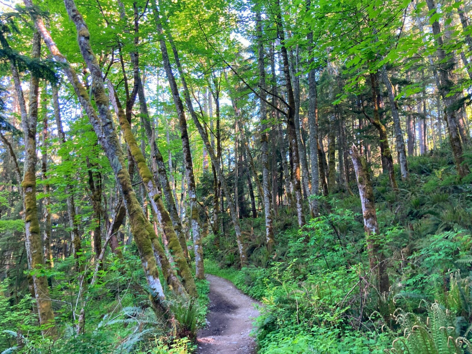A dirt trail winds through a forested hillside with trees, shrubs, bushes and ferns in every shade of green.