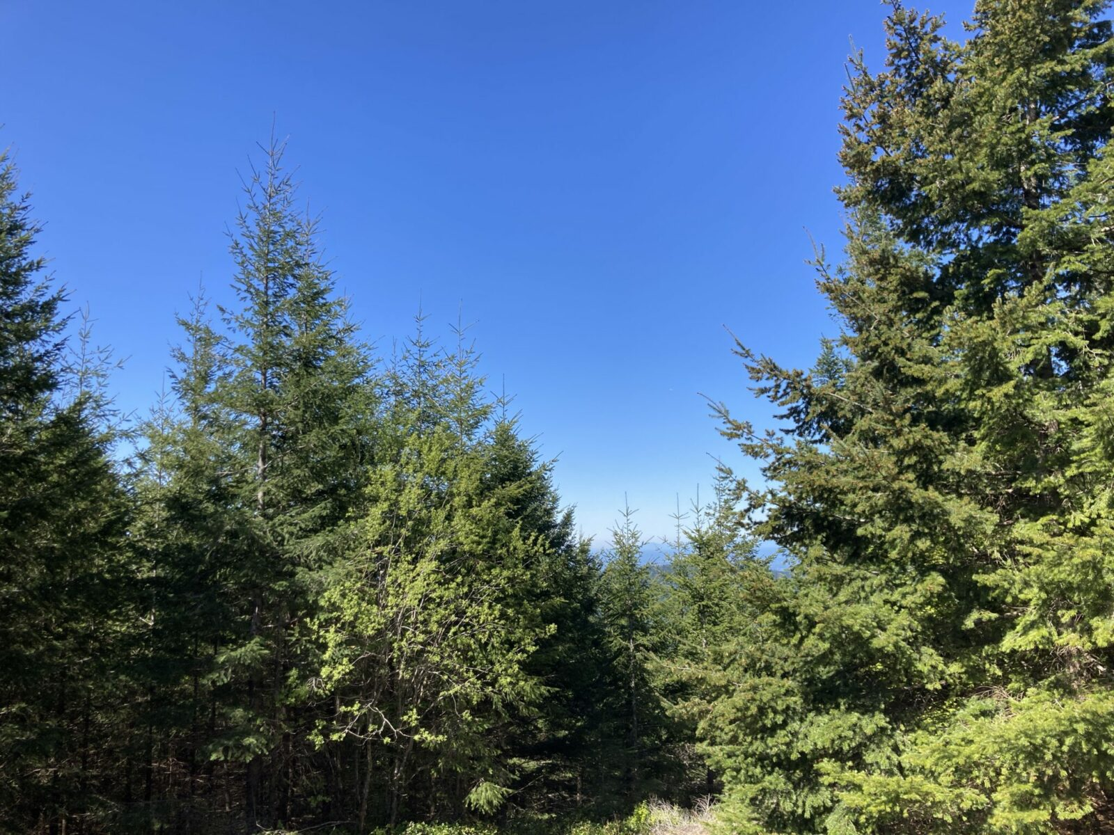 A view of mountains is mostly obscured by young evergreen trees that have grown up to block it on the summit of West Tiger Mountain 3