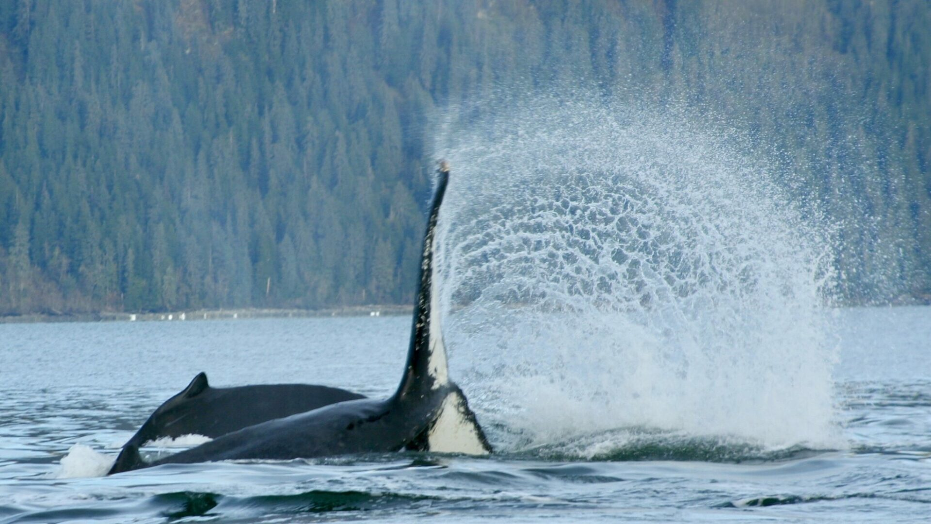 A whale tail breaching in the water with a forested hillside behind