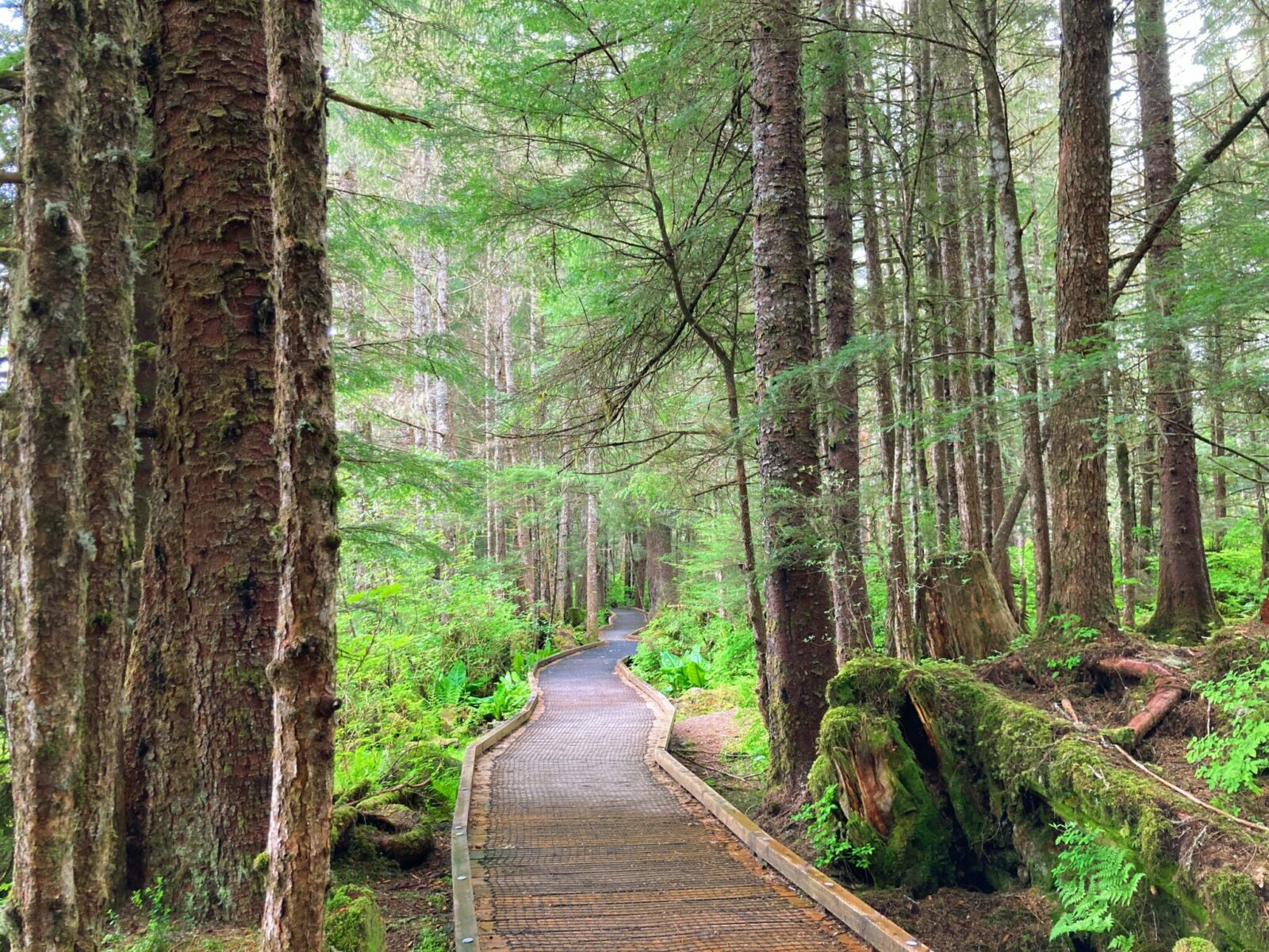 A trail in Petersburg Alaska is a wooden boardwalk winding through a lush green forest of evergreen trees and ferns