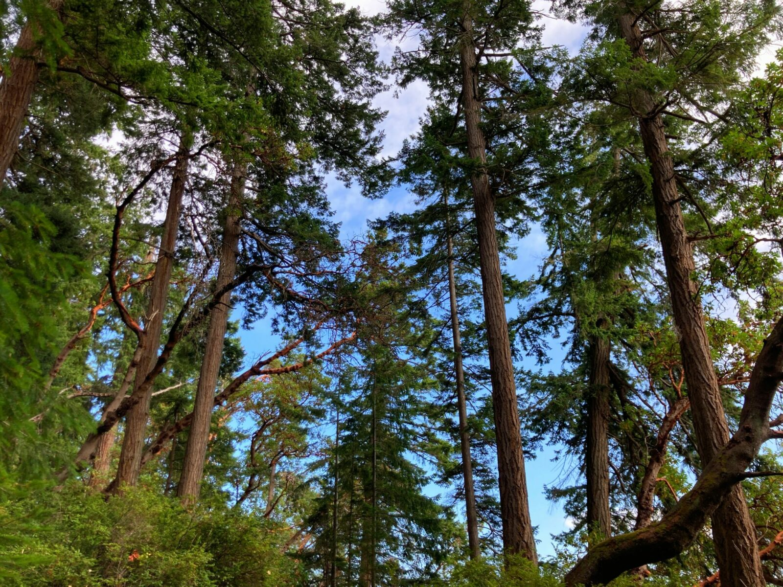 Different types of evergreen trees along a trail on a sunny day