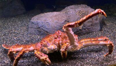 A bright red Alaska King Crab at the Alaska Sealife Center.
