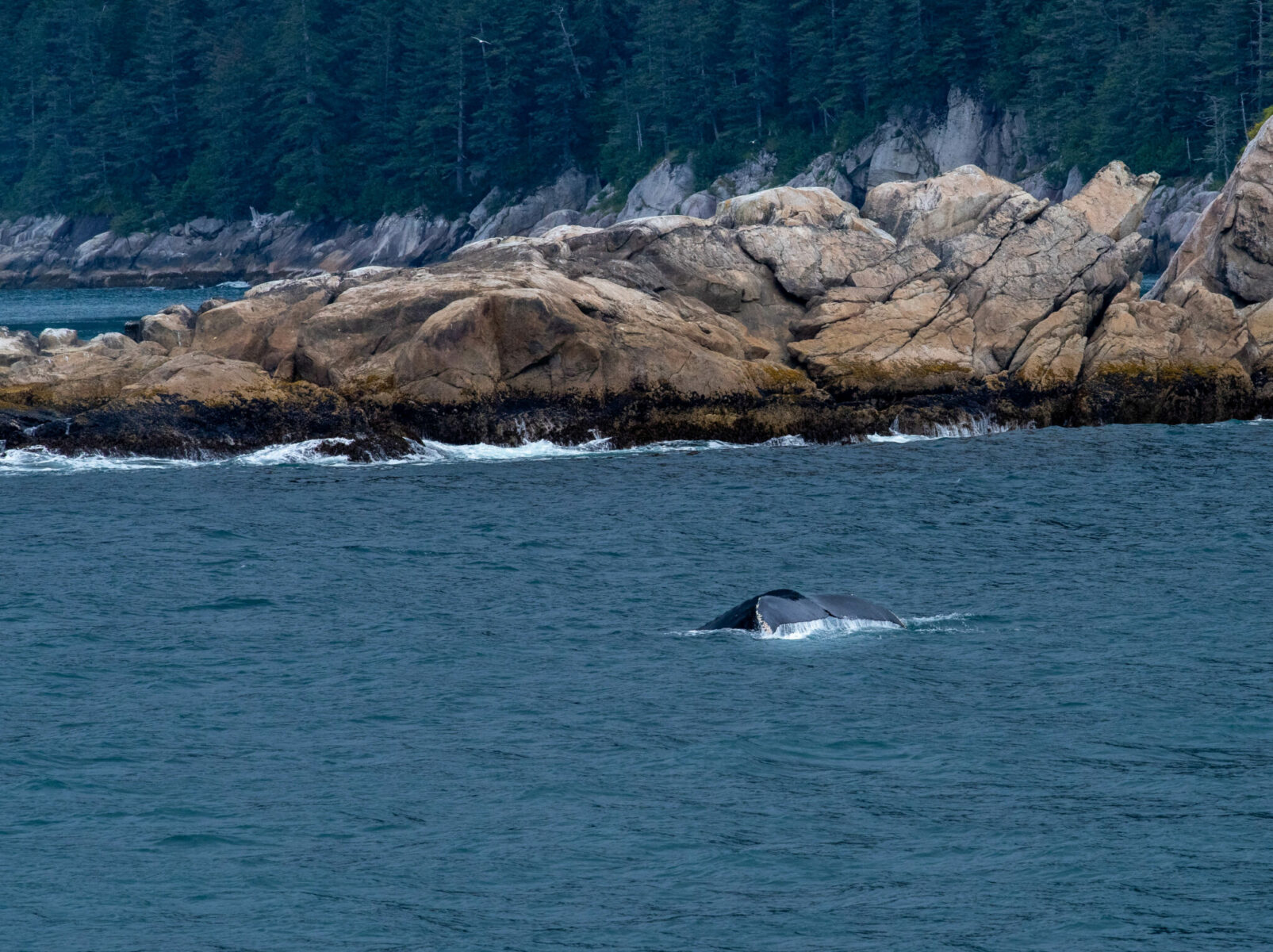 A humpback whale dives near the shore against a rocky headland