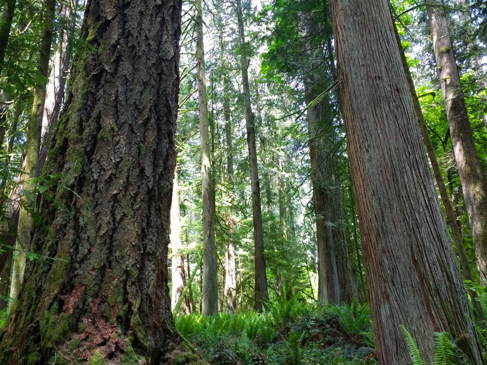 The bottom of tall old growth trees with chunky bark in a forest with more trees and a forest floor covered in ferns