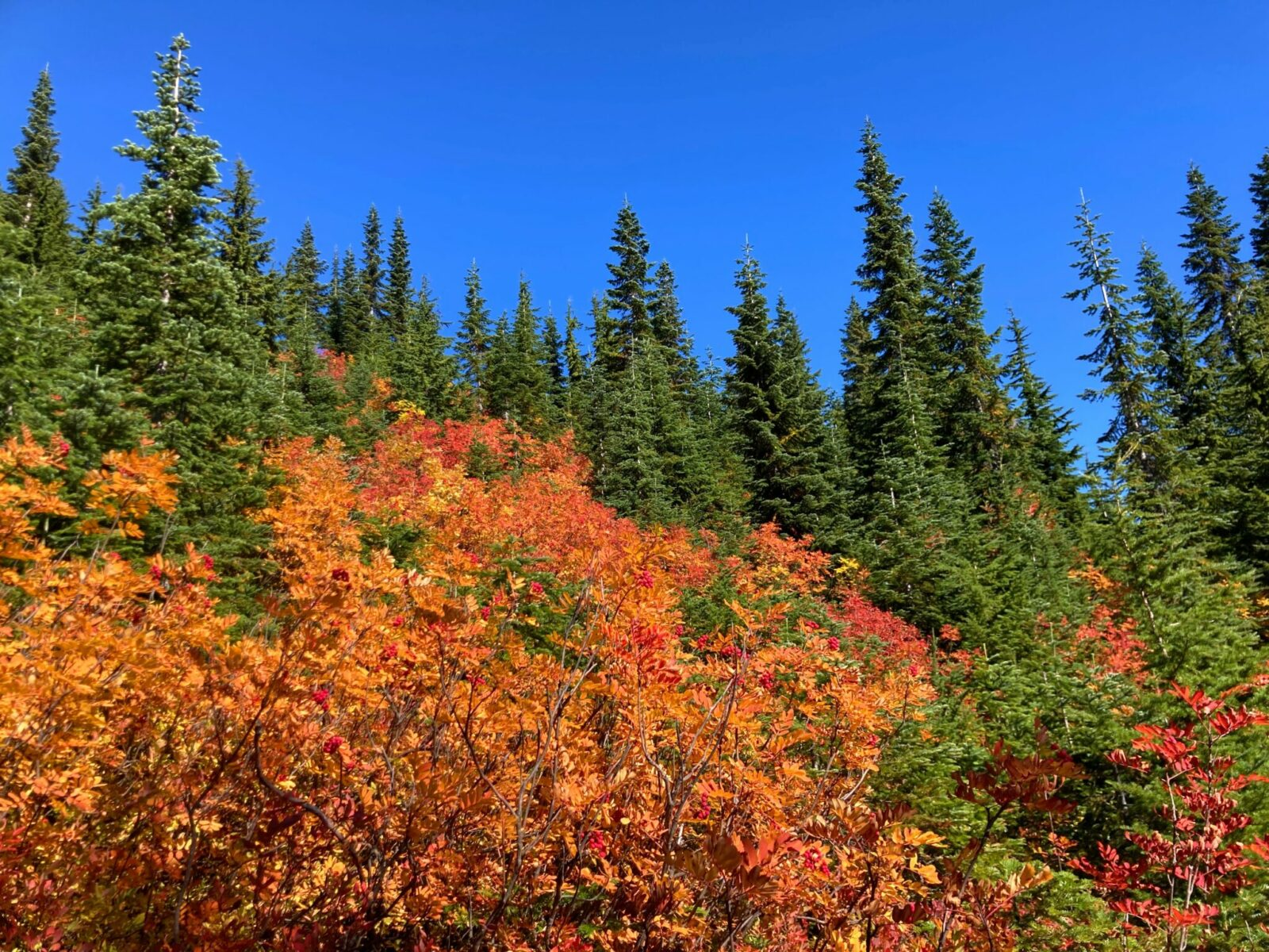 A forested hillside with evergreen trees and bright orange and red bushes in fall color