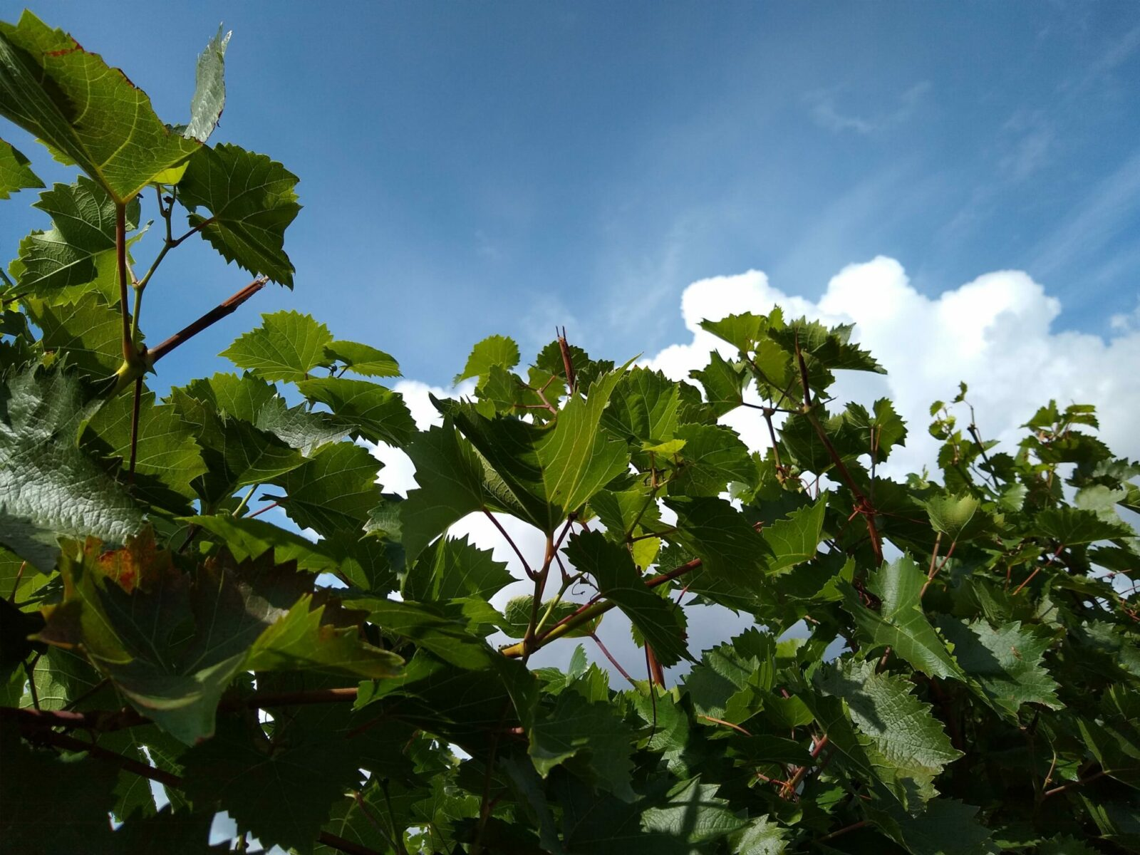 A close up of grape plants in a vineyard between Vancouver and Banff near Kamloops