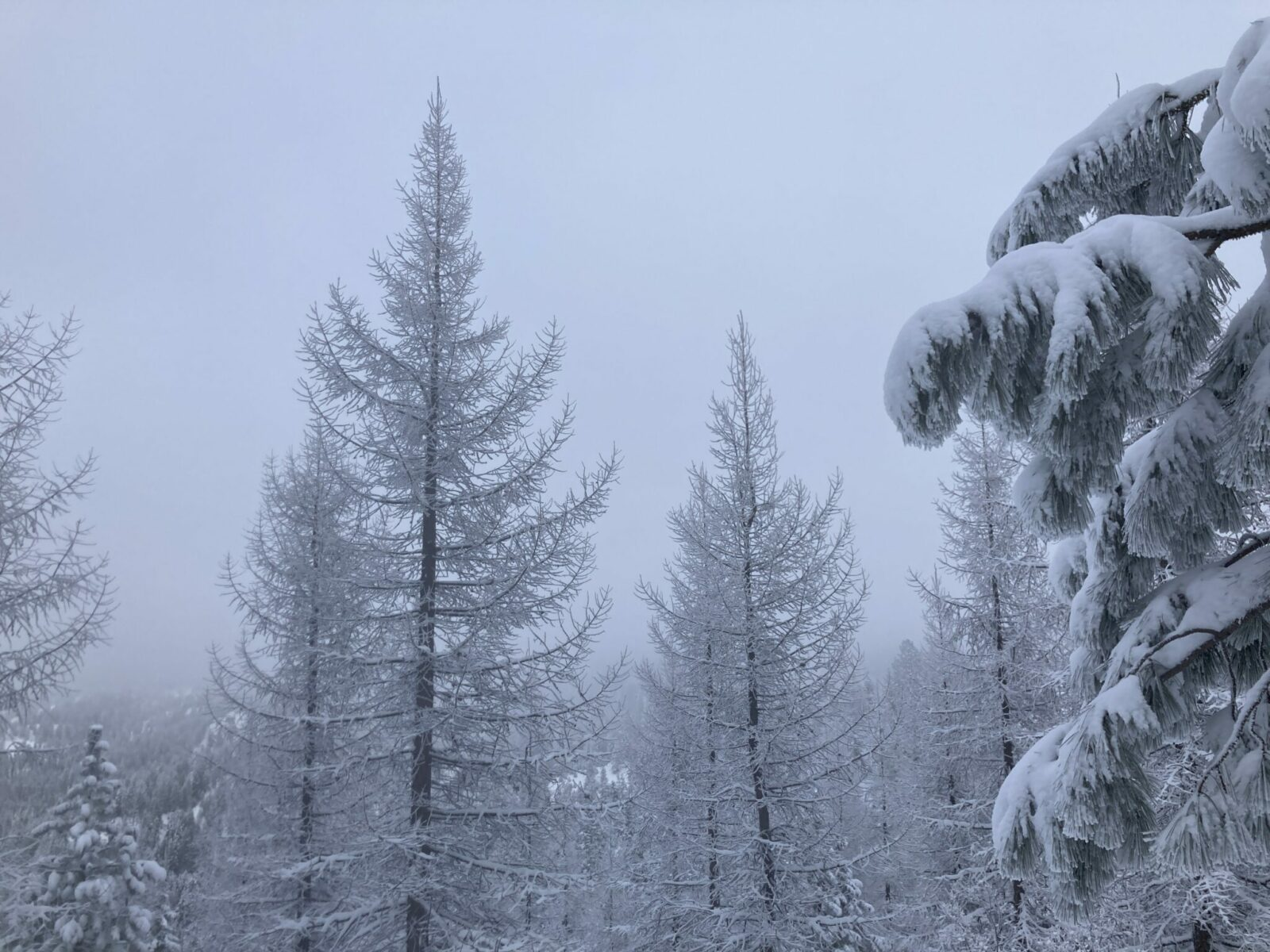 Larch trees in winter with fresh snow, surrounded by pine trees on a foggy day