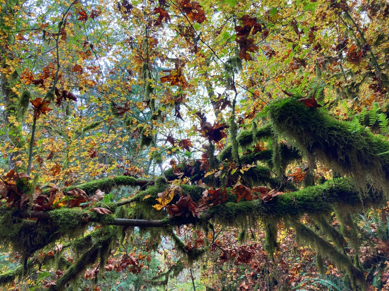 A branch in the forest covered in moss with orange and brown fall maple leaves on it in a forest on a cloudy day