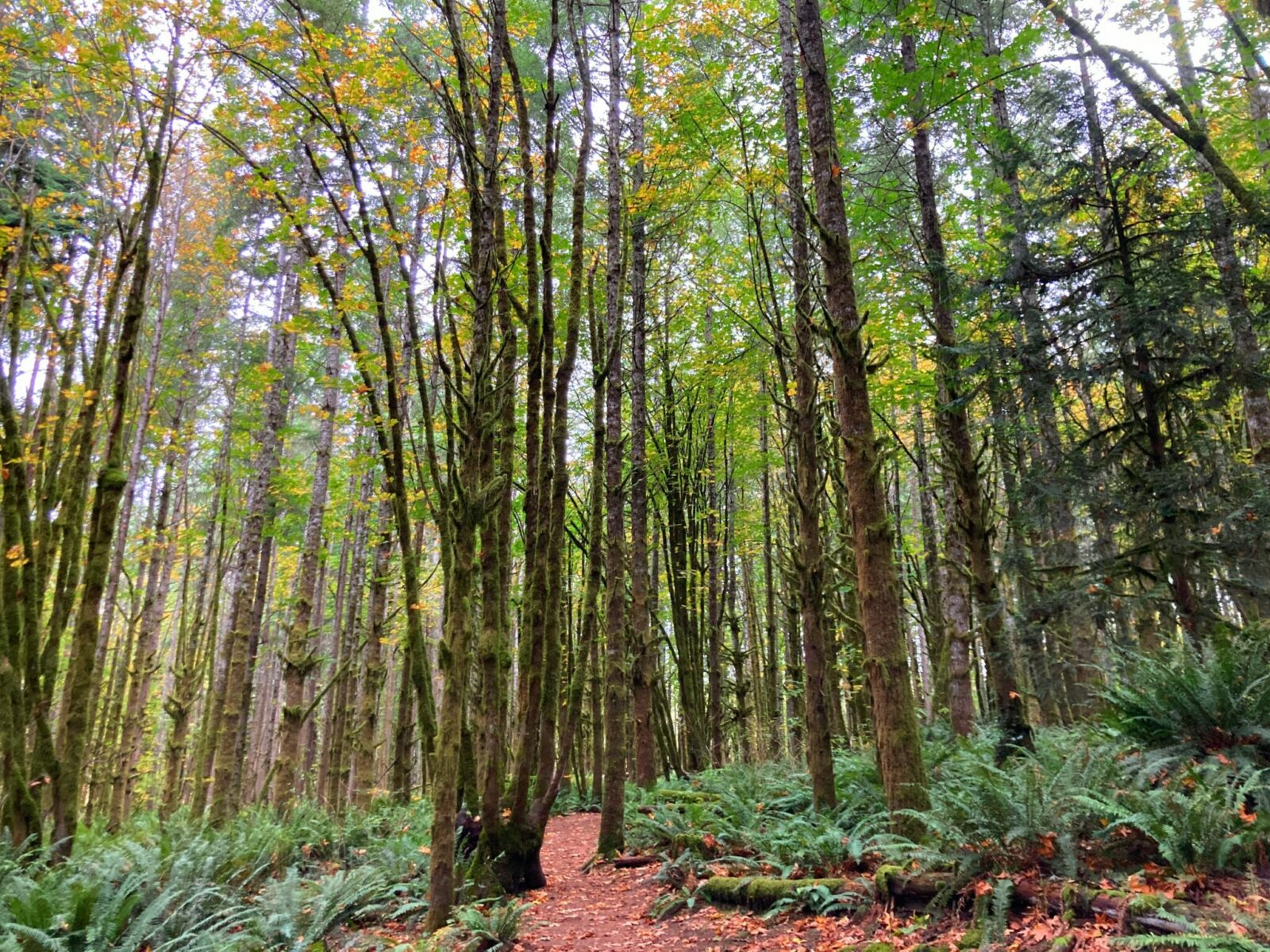A forest with thick ferns around the forest floor and the lime kiln trail going through the forest